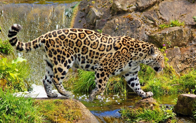والپر های جدید و فوق العاده زیبا از یوزپلنگ ها
